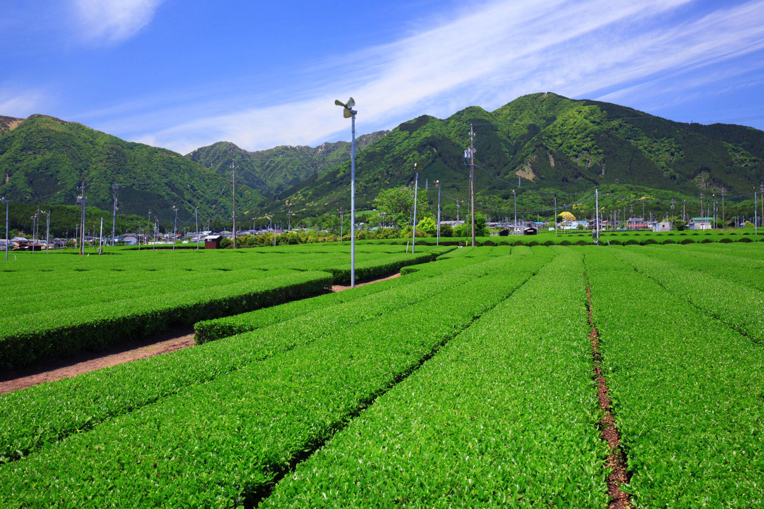 市西部に広がる茶畑